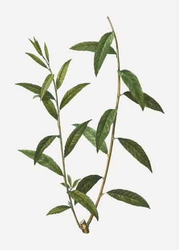 Branche de saule doré