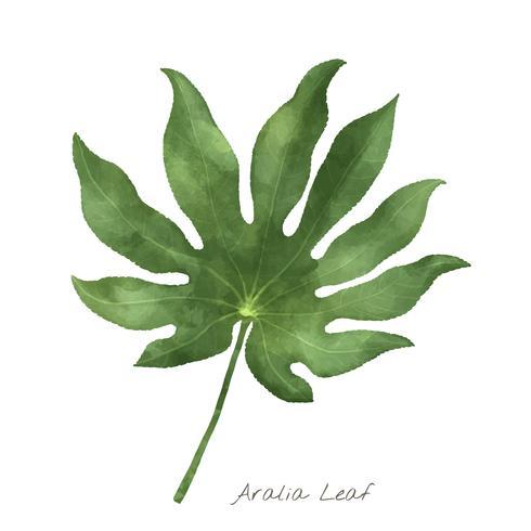 Aralia leaf isolated on white background
