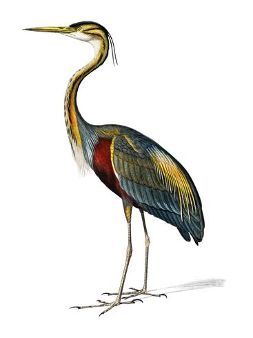 Purple heron (Ardea purpurea) illustrated by Charles Dessalines D' Orbigny (1806-1876). Digitally enhanced from our own 1892 edition of Dictionnaire Universel D'histoire Naturelle. vector