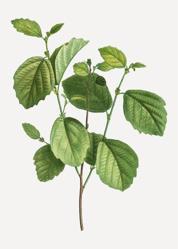 Branche de l'aulne