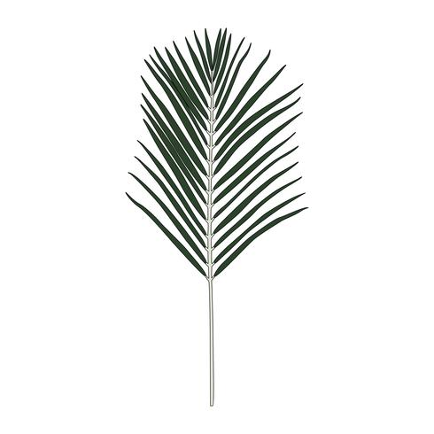Illustration of Areca palm leaf