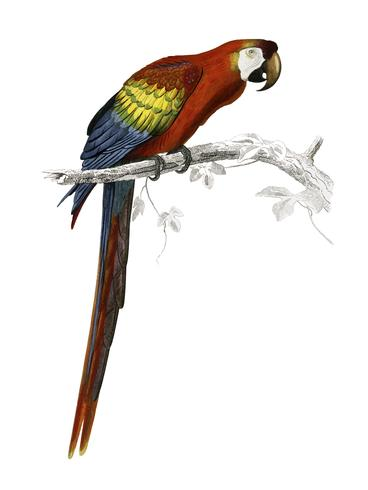 Macaw (Ara canga) illustrated by Charles Dessalines D' Orbigny (1806-1876). Digitally enhanced from our own 1892 edition of Dictionnaire Universel D'histoire Naturelle.