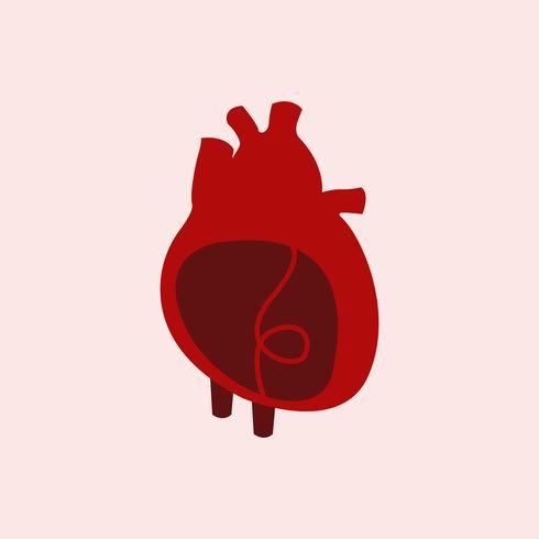 Hjärta orgel isolerad vektor illustration