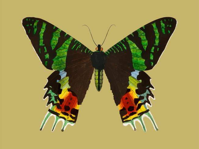 Madagascan Sunset Moth (Urania Riphaeus) illustrated by Charles Dessalines D' Orbigny (1806-1876). Digitally enhanced from our own 1892 edition of Dictionnaire Universel D'histoire Naturelle.