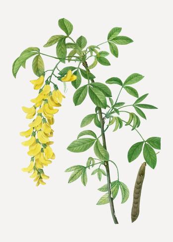 Fleurs de laburnum communes