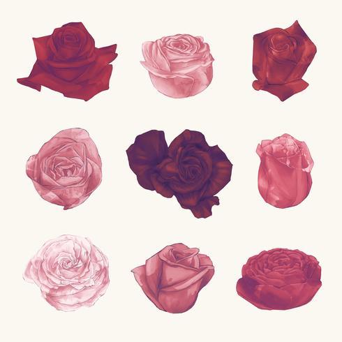 Ilustração de rosas isoladas no fundo branco