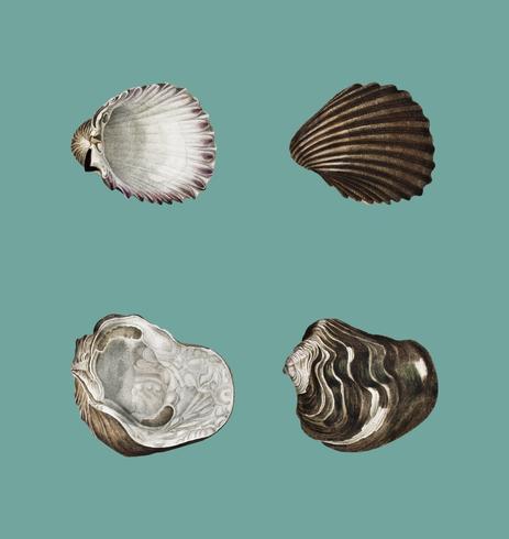 Verschillende soorten weekdieren geïllustreerd door Charles Dessalines D 'Orbigny (1806-1876). Ten dele verbeterd uit onze eigen 1892 editie van Dictionnaire Universel D'histoire Naturelle.