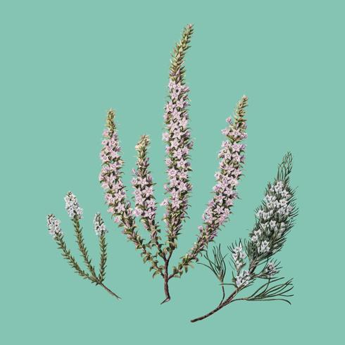 Plante antique Epacris (2 espèces) dessinée par Sarah Featon (1848 - 1927). Augmenté numériquement par rawpixel.