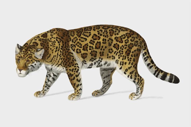 Onça-pintada (Panthera Onca) ilustrada por Charles Dessalines D 'Orbigny (1806-1876). Digital reforçada a partir de nossa própria edição de 1892 do Dictionnaire Universel D'histoire Naturelle.