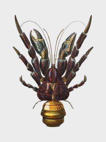 Caranguejo de coco (Birgus latroi) ilustrado por Charles Dessalines D 'Orbigny (1806-1876). Digital reforçada a partir de nossa própria edição de 1892 do Dictionnaire Universel D'histoire Naturelle.