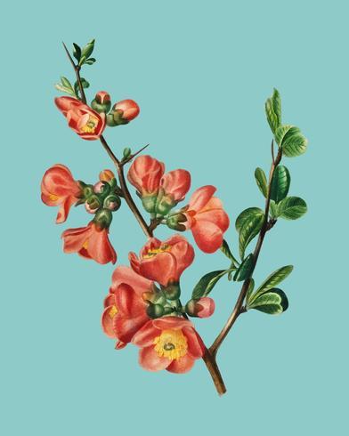 Maule's quince (Cydonia japonica) illustrerad av Charles Dessalines D 'Orbigny (1806-1876). Digitalförstärkt från vår egen 1892-upplaga av Dictionnaire Universel D'histoire Naturelle.