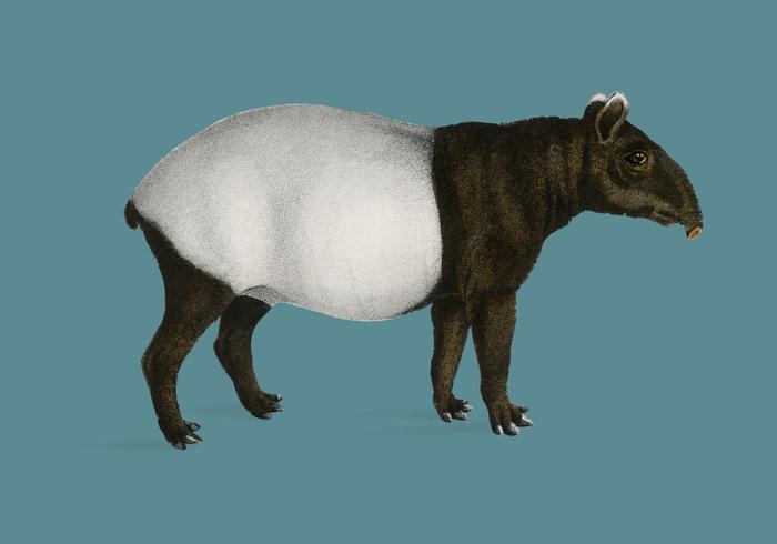 Malayas Tapir (Equus Montanus) illustrerad av Charles Dessalines D 'Orbigny (1806-1876). Digitalförstärkt från vår egen 1892-upplaga av Dictionnaire Universel D'histoire Naturelle.