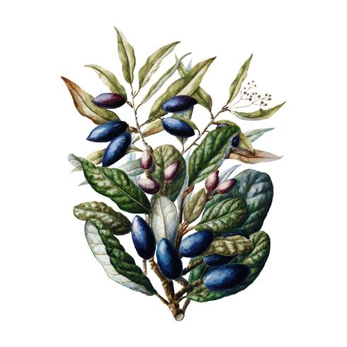 Antique plant Beilschmiedia Taiaire Tawa drawn by Sarah Featon (1848 - 1927). Digitally enhanced by rawpixel.