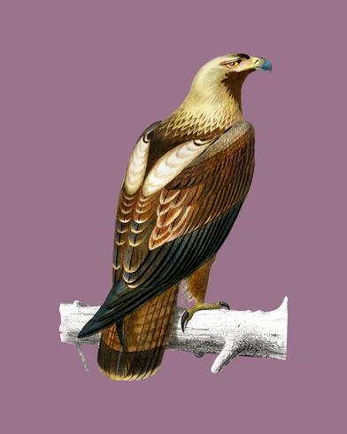 Águia imperial oriental (Aquila heliaca) ilustrada por Charles Dessalines D 'Orbigny (1806-1876). Digital reforçada a partir de nossa própria edição de 1892 do Dictionnaire Universel D'histoire Naturelle.