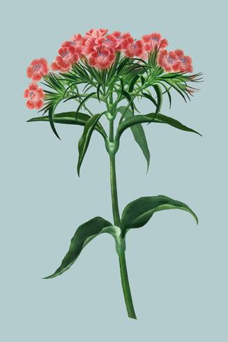 Sweet william (Dianthus barbatus) illustrated by Charles Dessalines D' Orbigny (1806-1876). Digitally enhanced from our own 1892 edition of Dictionnaire Universel D'histoire Naturelle.