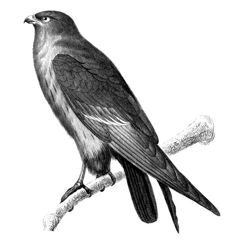 Illustrazioni d'epoca del falco rosso
