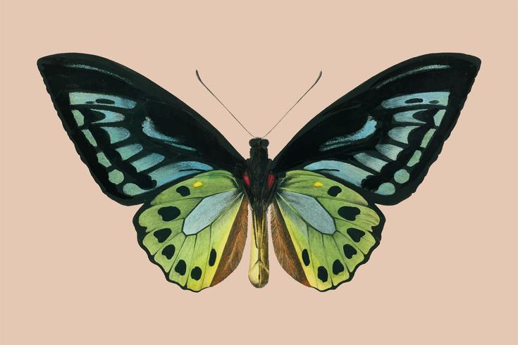 Aile d'oiseau vert (Ornithoptera priamus) illustré par Charles Dessalines D'Orbigny (1806-1876). Amélioré numériquement à partir de notre propre édition de 1892 du Dictionnaire Universel D'histoire Naturelle.