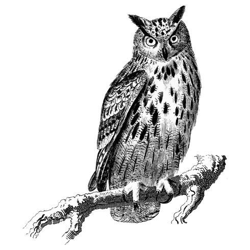 Vintage illustrations of Owl