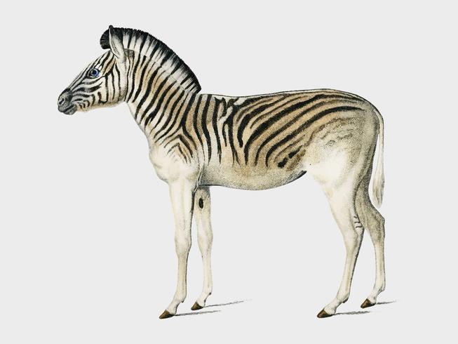Bergzebra (Dauw), illustriert von Charles Dessalines D 'Orbigny (1806-1876). Digital verbessert aus unserer 1892er Ausgabe von Dictionnaire Universel D'histoire Naturelle.