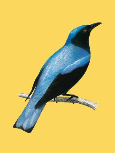 Square-tailed drongo (Edoius caerulescens) illustrated by Charles Dessalines D' Orbigny (1806-1876). Digitally enhanced from our own 1892 edition of Dictionnaire Universel D'histoire Naturelle.