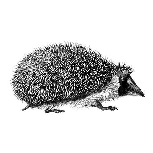Ilustrações vintage de ouriço