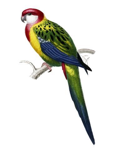 Psittacus carolinensis ilustrado por Charles Dessalines D 'Orbigny (1806-1876). Digital reforçada a partir de nossa própria edição de 1892 do Dictionnaire Universel D'histoire Naturelle.