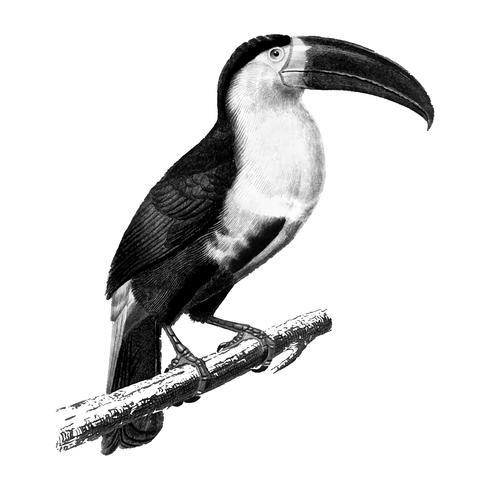 Tappningillustrationer av toucan