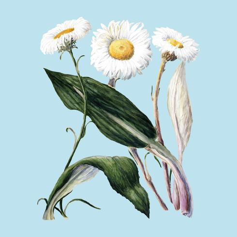 Antike Pflanze New Zealand Berggänseblümchen gezeichnet von Sarah Featon (1848 - 1927). Digital verbessert durch Rawpixel.