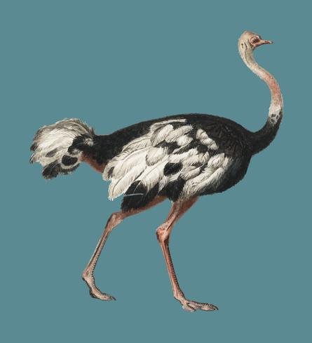 Common ostrich (Struthio camelus) illustrated by Charles Dessalines D' Orbigny (1806-1876). Digitally enhanced from our own 1892 edition of Dictionnaire Universel D'histoire Naturelle.