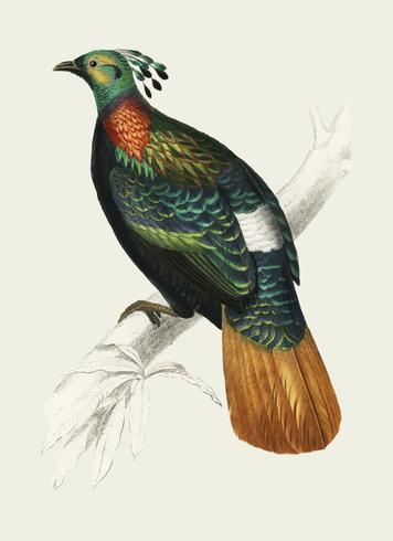 Himalayan monal (Lophophorus refulgens) illustrerad av Charles Dessalines D 'Orbigny (1806-1876). Digitalförstärkt från vår egen 1892-upplaga av Dictionnaire Universel D'histoire Naturelle.