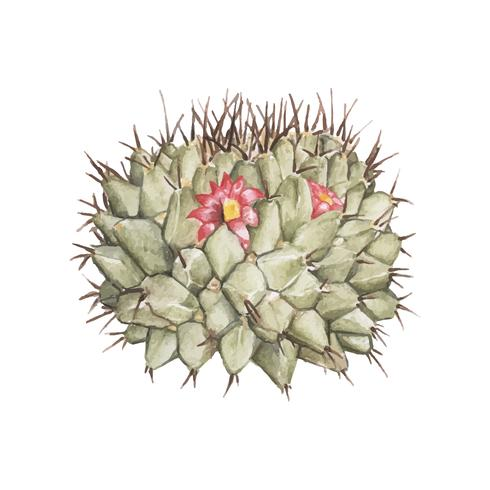 Dibujado a mano cactus pincushion mammillaria erythra