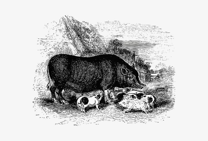 Dessin à l'ombre de porc