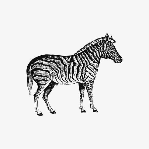 Zebra shade drawing