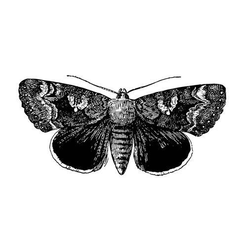 Ilustración de Epione Underwing