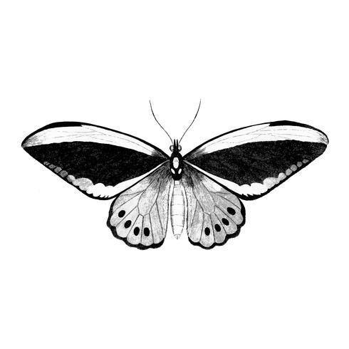 Illustration of Papilio