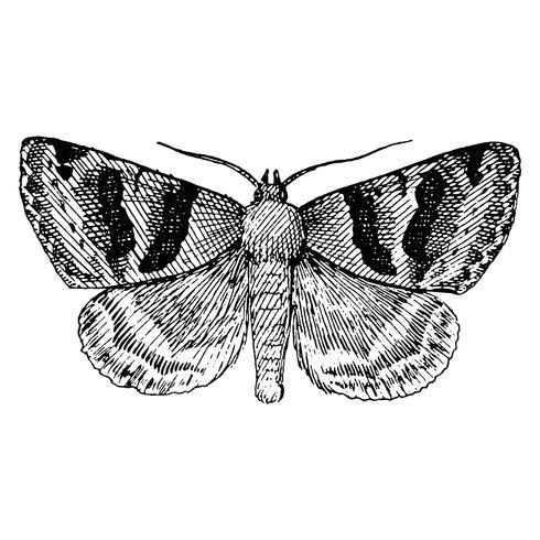 Illustratie van Drasteria erechtea
