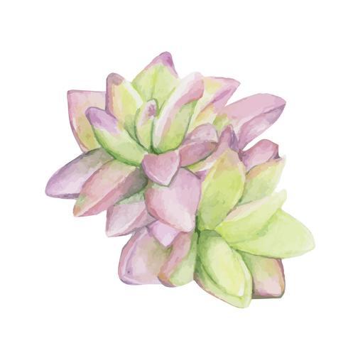 Disegnato a mano haworthia rufescens succulento