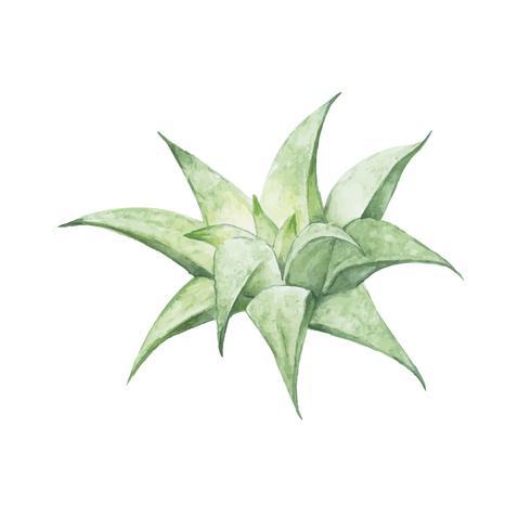 Hand drawn aloe mitriformis variegata