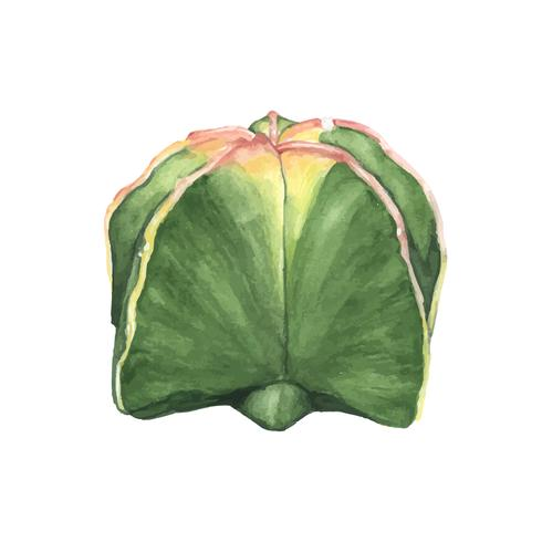 Hand drawn astrophytum myriostigma bishop's cap cactus