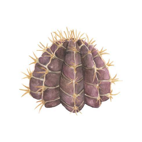 Gymnocalycium stenopleurum dessiné à la main
