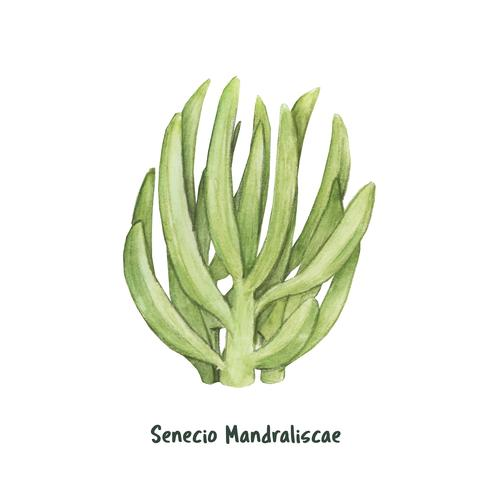 Handgezeichnete Senecio Mandraliscae Succulent