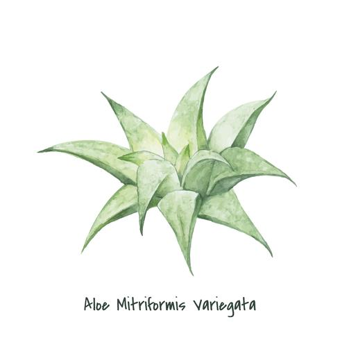 Handritad aloe mitriformis variegata