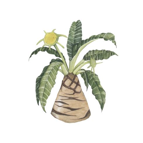 Dibujado a mano dorstenia foetida planta
