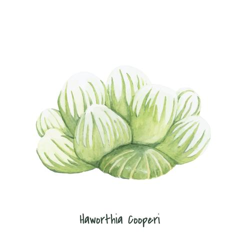 Handdragen haworthia cooperi planta