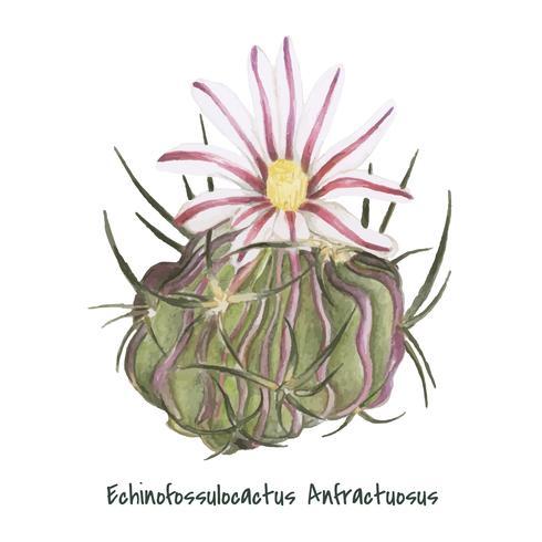 Hand drawn echinocactus anfractuosus cactus