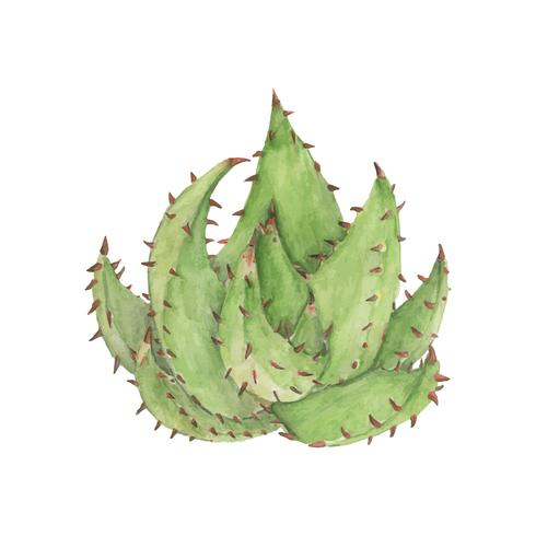 Handritad Aloe aculeata växt