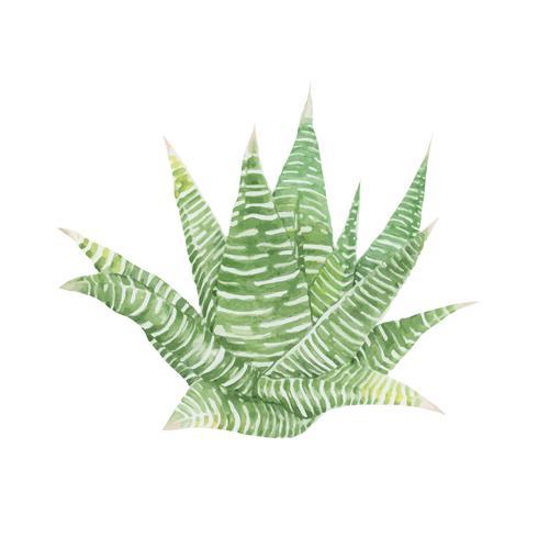 Dibujado a mano haworthia limifolia hada tabla de lavar