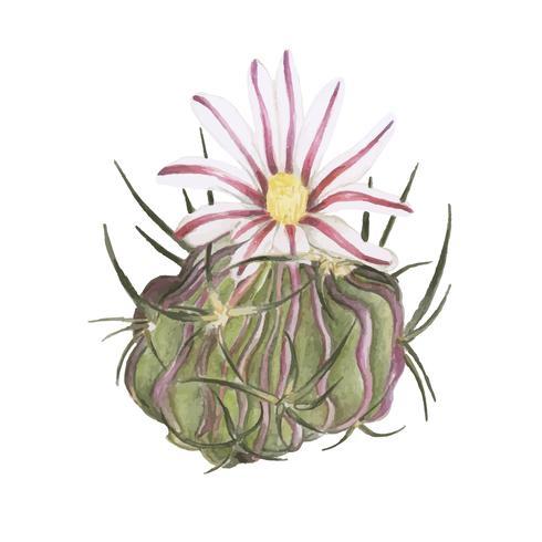 Handritad echinocactus anfractuosus kaktus