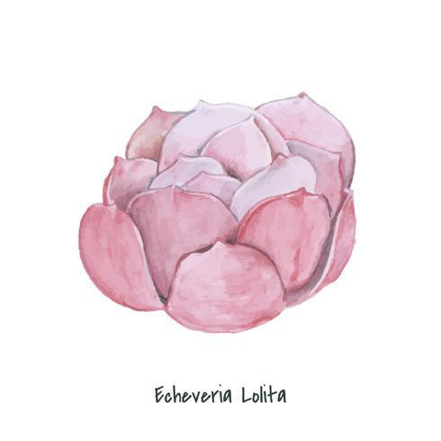 Handgezeichnete Echeveria Lolita Succulent