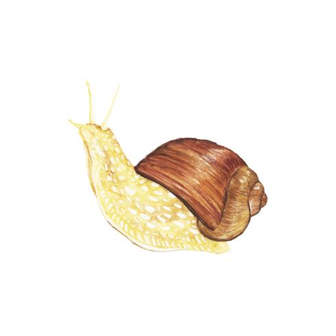 Hand drawn snail isolated on white background